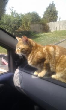 Male Ginger Tabby! Missing Cat